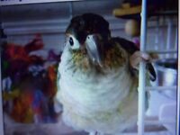 Stunning hand reared turqouise yellow sided conure