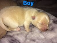 Four chihuahua puppies for sale