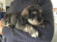 Miniature Schnauzer boy pup