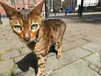 Missing Bengal: Glasgow: Please Return