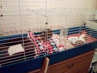 2 x1 year old brothers guinea pigs and 6ft long indoor cage