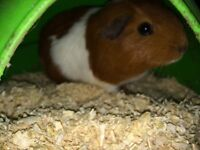 Female Guinea pig and indoor cage