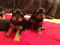 Beautiful three Yorkshire Terrier Girls left ,all boys have found there forever homes.
