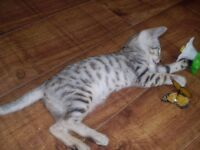 Smokey Silver Spotted Female Bengal Kitten. (Rare)