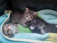 Half Maine Coon long hair kittens 8 weeks old now