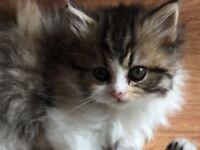 Persian indoor longhair kitten (tricolour Female)