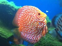 discus, tropical fish for sale