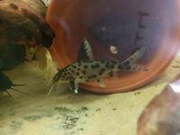 Tropical fish - Synodontis multipunctatus Hybrid (cuckoo catfish)