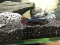 Female betta - Red / Blue in need of new home ASAP - Free