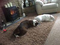 2 British bull dogs