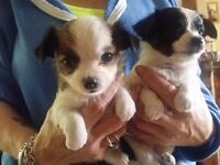 chihuahua pups parvo injected and vet checked GARVAGH AREA
