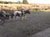 shetland miniature registered coloured stallion