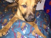 half german shepherd half mastiff 3monthsold Female