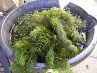 Free Pond weed - still some available -