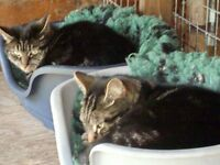 Beautiful (mum & son) Rare Marked Tabbies