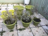 Plant pots and lavender
