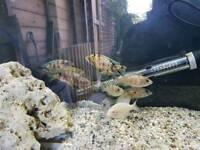Malawi cichilds fish