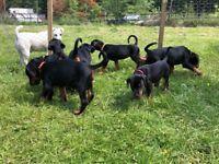 Beautiful KC Dobermann Puppies