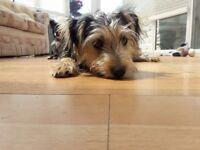 Yorkie Jack Russel Cross Puppy