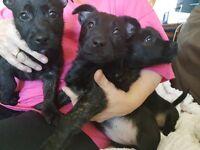 Scottie/Jug puppies for sale
