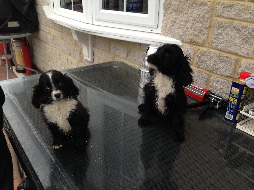 Two cockapoo puppies for sale | in Kidlington, Oxfordshire | Gumtree