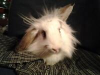 6 MONTH OLD RESCUE FEMALE LIONHEAD LOP BUNNY