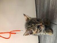 Tabby & Ginger Kitten