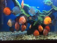DISCUS TROPICAL COMMUNITY TANK FISH