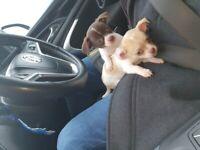 Chihuahua x dachshund puppies