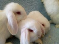 Dwarf lop babies for sale