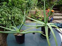 Aloe vera plants, various sizes