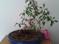 Large Bonsai Tree For Sale