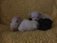 Adorable chihuahua babies