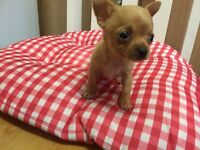 Teacup chihuahua puppy's