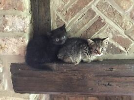 Two lovely kittens for sale: one tabby and one black.