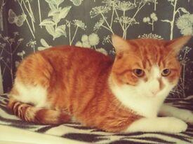 Beautiful ginger tom cat