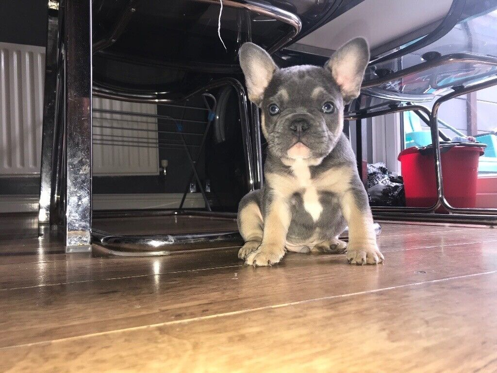 1 BOY LEFT Blue and tan French Bulldog Kc registered