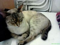 Blue eyed Snow Spot Bengal female MISSING/LOST/STOLEN