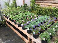 Herbaceous plants in 2Ltr pots