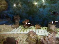 true black saddleback clownfish ( only 1 left)