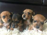 Beautifull yorkiejack puppies lovely colours