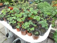 Strawberry plants in pots- this years runners