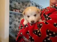 Husky Alsatian pups
