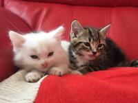 1white cross ragdoll 1 tabby cross ragdoll