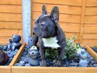 French bulldog girls, brown carries blue & cream, blue carries tan both kc reg