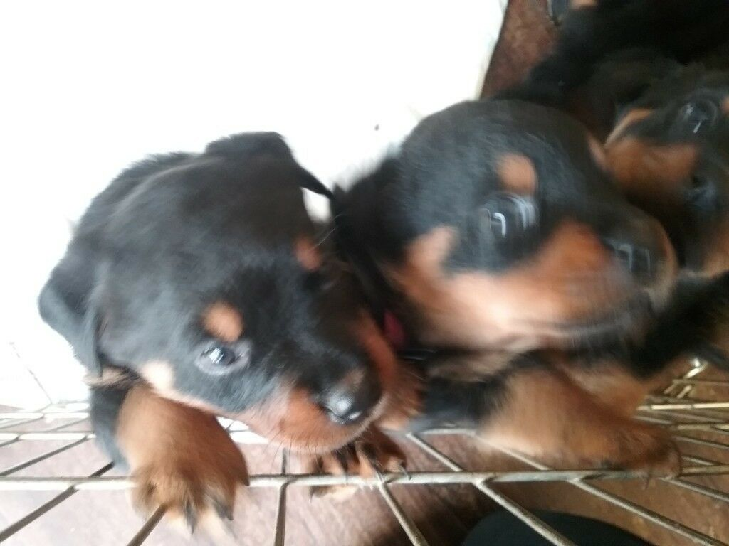 Rottweiler Puppies In North Hampshire In Basingstoke Hampshire