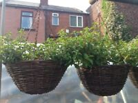 Fuchsia Hanging Baskets - wicker baskets ready to hang. Established fuchsia - pinks and whites.
