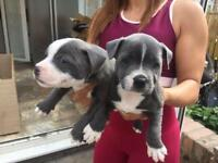 Blue staffy puppies ready to go today