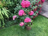 Hydangea plant with seven flower heads