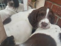Springer spaniel puppy puppies